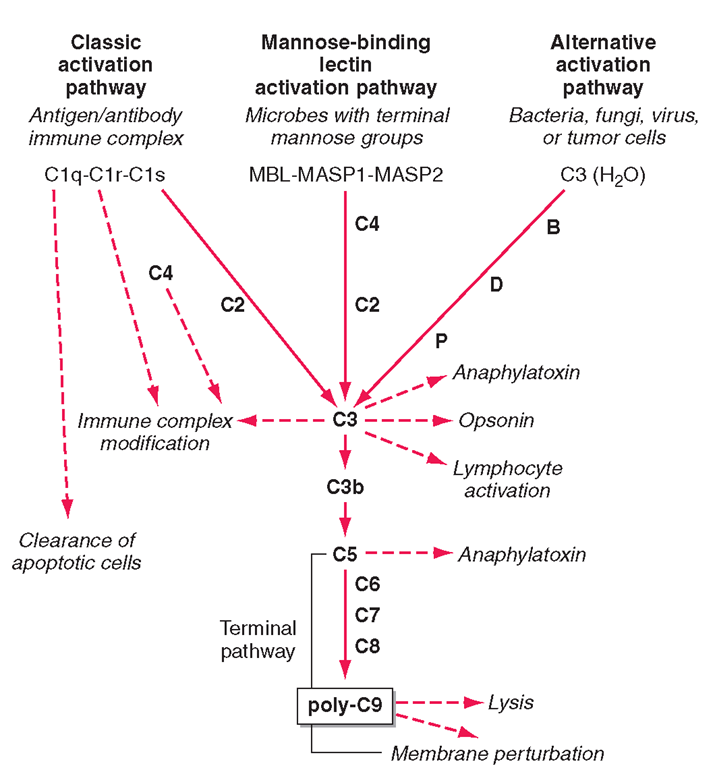 The four pathways and the effector mechanisms of the complement system. Dashed arrows indicate the functions of pathway components.