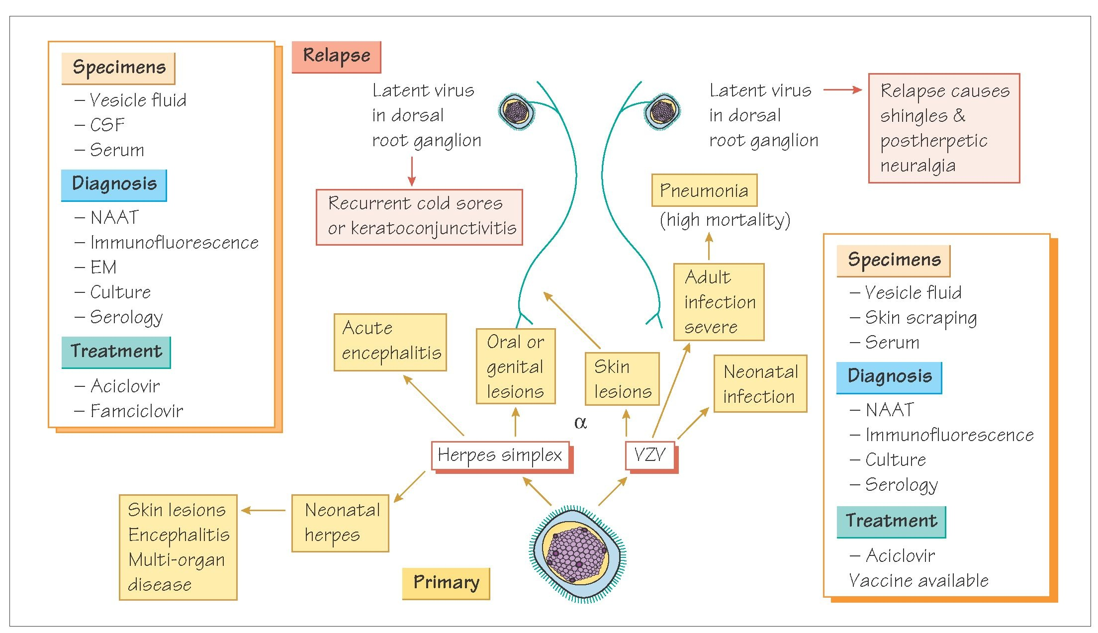 Herpes Zoster Shingles Pathophysiology Herpes Free Me