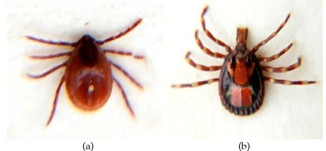 a) Rhipicephalus sanguineus (brown dog tick) and b) Male Amblyomma variegatum tick