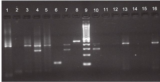 Agarose gel electrophoresis. Lanes 1,3, 13, 16: DENV-4; Lane 4,7 and 10: DENV-3/DENV-4; Lane 6: DENV-2, Lane 8: DENV-1; Lane 9: DNA size standards 100Kb;