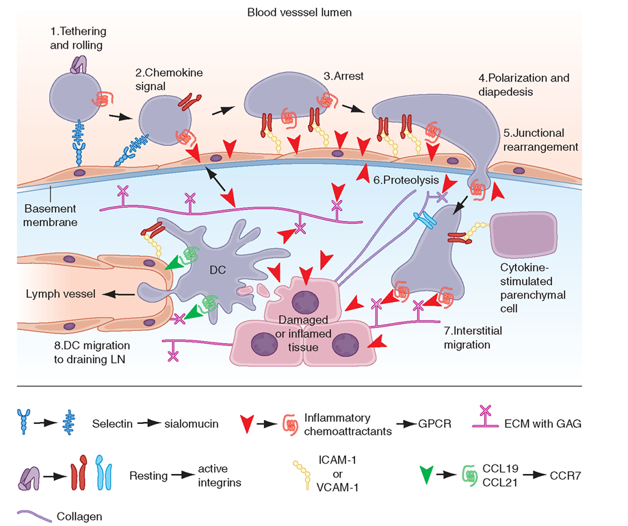 """Key migration steps of immune cells at sites of inflammation. Inflammation due to tissue damage or infection induces the release of cytokines (not shown) and inflammatory chemoattractants (red arrowheads) from distressed stromal cells and """"professional"""" sentinels, such as mast cells and macrophages (not shown). The inflammatory signals induce upregulation of endothelial selectins and immunoglobulin """"superfamily"""" members, particularly ICAM-1 and/or VCAM-1. Chemoattractants, particularly chemokines, are produced by or translocated across venular endothelial cells (red arrow) and are displayed in the lumen to rolling leukocytes. Those leukocytes that express the appropriate set of trafficking molecules undergo a multistep adhesion cascade (steps 1-3) and then polarize and move by dia-pedesis across the venular wall (steps 4 and 5). Diapedesis involves transient disassembly of endothelial junctions and penetration through the underlying basement membrane (step 6). Once in the extravascular (interstitial) space, the migrating cell uses different integrins to gain """"footholds"""" on collagen fibers and other ECM molecules, such as laminin and fibronectin, and on inflammation-induced ICAM-1 on the surface of parenchymal cells (step 7). The migrating cell receives guidance cues from distinct sets of chemoattrac-tants, particularly chemokines, which may be immobilized on glycosaminoglycans (GAG) that """"decorate"""" many ECM molecules and stromal cells. Inflammatory signals also induce tissue-resident DCs to undergo maturation. Once DCs process material from damaged tissues and invading pathogens, they upregulate CCR7, which allows them to enter draining lymph vessels that express the CCR7 ligancd CCL21 (and CCL19). In lymph nodes (LN), these antigen-loaded mature DCs activate naïve T cells and expand pools of effector lymphocytes, which enter the blood and migrate back to the site of inflammation. T cells in tissue also use this CCR7-dependent route to migrate from peripheral sites """