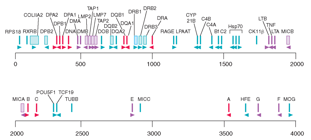 Physical map of the HLA region, showing the class I and class II loci, other immunologically important loci, and a sampling of other genes mapped to this region. Gene orientation is indicated by arrowheads. Scale is in kilobase (kb).