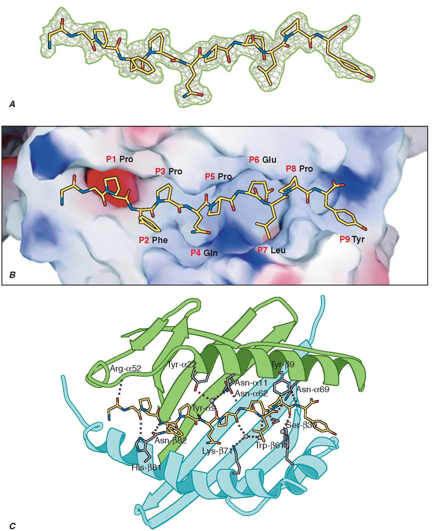 Specific intermolecular interactions determine peptide binding to MHC class II molecules. A short peptide sequence derived from alpha-gliadin (A) is accommodated within the MHC class II binding groove by specific interactions between peptide side chains (the P1-P9 residues illustrated in B) and corresponding pockets in the MHC class II structure. The latter are determined by the genetic polymorphisms of the MHC gene, in this case encoding an HLA-DQ2 molecule. C. This shows the extensive hydrogen bond and salt bridge network that tightly constrains the pMHC complex and presents the complex of antigen and restriction element for CD4 T cell recognition.