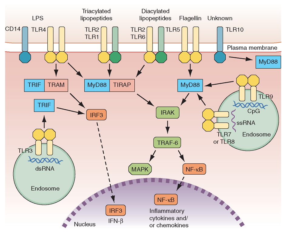 Overview of major TLR signaling pathways. All TLRs signal through MyD88, with the exception of TLR3. TLR4 and the TLR2 subfamily (TLR1, TLR2, TLR6) also engage TIRAP TLR3 signals through TRIF. TRIF is also used in conjunction with TRAM in the TLR4-MyD88-independent pathway. Dashed arrrows indicate translocation into the nucleus. LPS, lipopolysaccharide; dsRNA, double-strand RNA; ssRNA, single-strand RNA; MAPK, mitogen-activated protein kinases; NF-KB, nuclear factor-KB; IRF3, interferon regulatory factor 3.