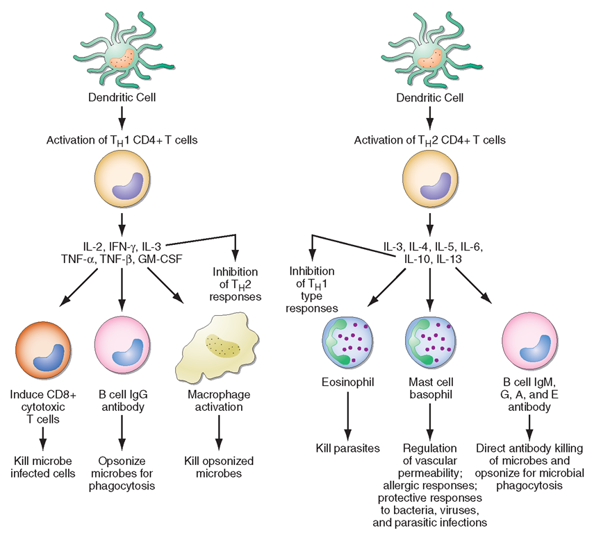 CD4+ helper T1 (TH1) cells and TH2 T cells secrete distinct but overlapping sets of cytokines. TH1 CD4+ cells are frequently activated in immune and inflammatory reactions against intracellular bacteria or viruses, while TH2 CD4+ cells are frequently activated for certain types of antibody production against parasites and extracellular encapsulated bacteria; they are also activated in allergic diseases. GM-CSF,granulocyte-macrophage colony stimulating factor; IFN, interferon; IL, interleukin; TNF, tumor necrosis factor.