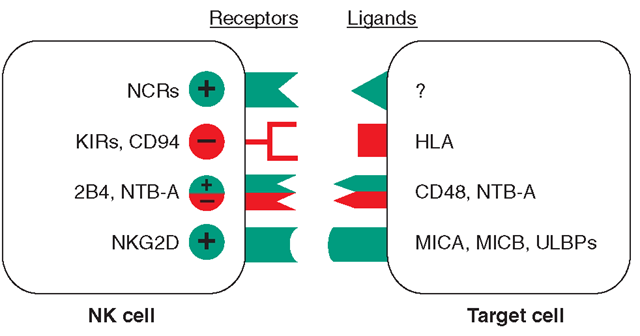 Receptors and ligands involved in human NK cell-mediated NK cell activation is the final result of the engagement of a number of receptors that have opposite functions. A simplified model of the surface receptors and their ligands involved in NK cell activation (green) or inactivation (red) is shown. KIRS are killer immunoglobulin-like receptors. In the absence of inhibitory signals, activating NK cell receptor ligation with molecules on the target cell results in NK cell triggering and target cell lysis. This event occurs in MHC class I HLA-defective cells, such as tumors or virus-infected cells. In the case of normal cells that express MHC class I, the interaction between inhibitory receptors and MHC class I delivers signals that overcome NK cell triggering, thus preventing target cell lysis. Although the cellular natural cytotoxic receptor (NCR) ligands have not yet been identified, the ligands for NG2D are represented by stress-inducible MICA, MICB, and ULBPs. The ligand for 2B4 is CD48, which is expressed by hematopoietic cells, whereas the ligand for NTB-A is itself on target cells. The + and - symbols denote activating or inhibitory signals, respectively.