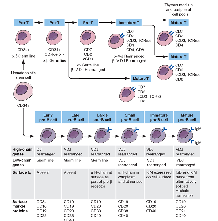 Development stages of T and B cells. Elements of the developing T and B cell receptor for antigen are shown schematically. The classification into the various stages of B cell development is primarily defined by rearrangement of the immunoglobulin (Ig), heavy (H), and light (L) chain genes and by the absence or presence of specific surface markers.