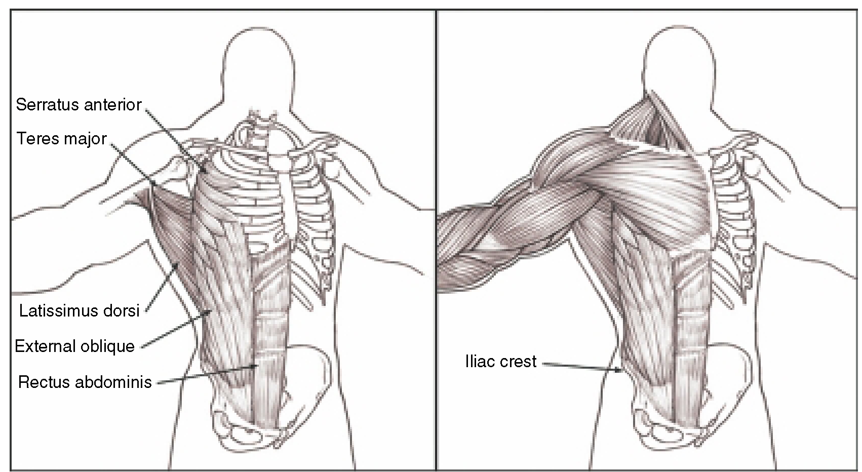 The Anterior And Lateral Torso Sculpting A Figure Digital