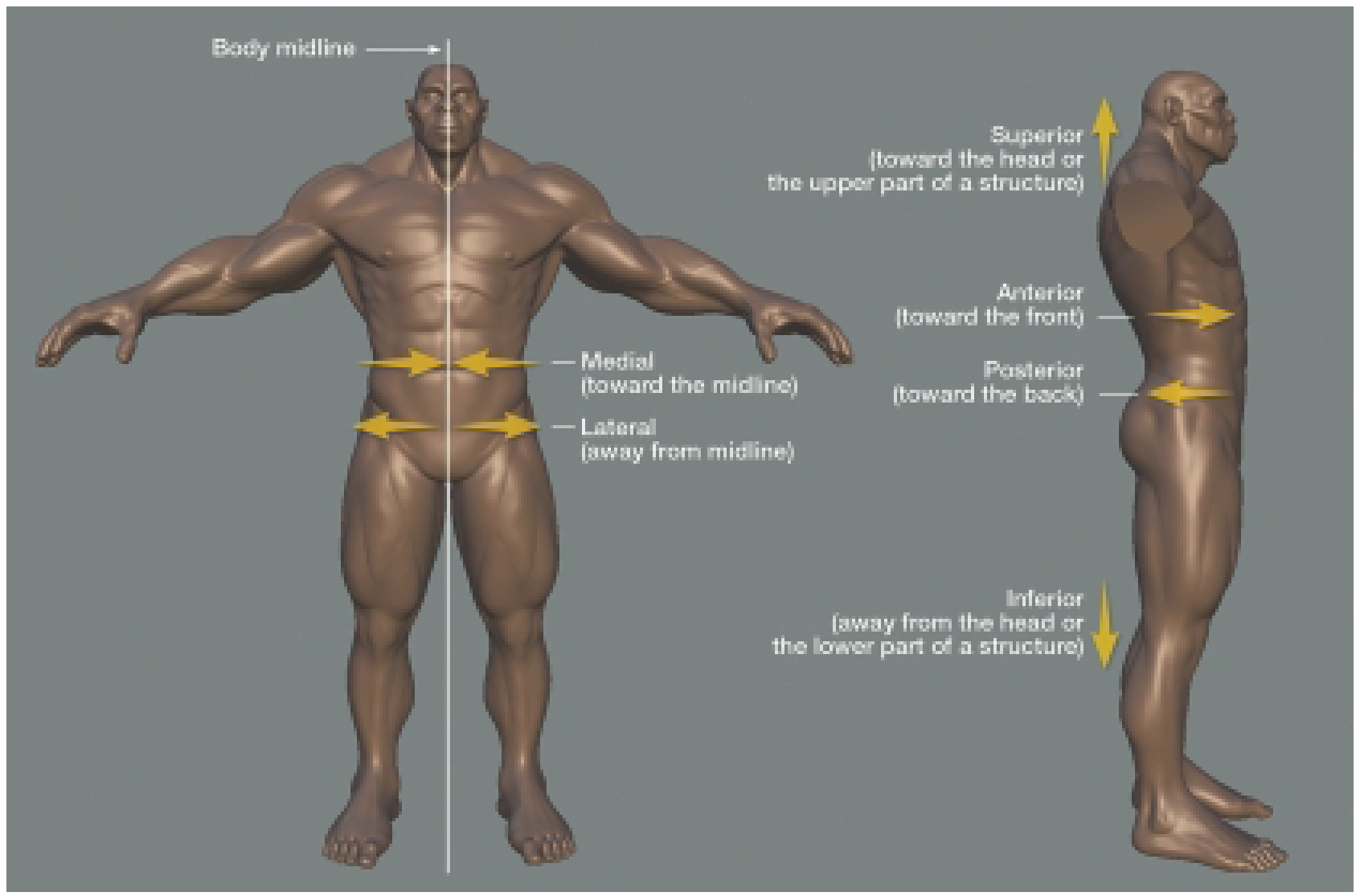 Anatomy Primer (Sculpting a Figure) (Digital Sculpting with Mudbox)