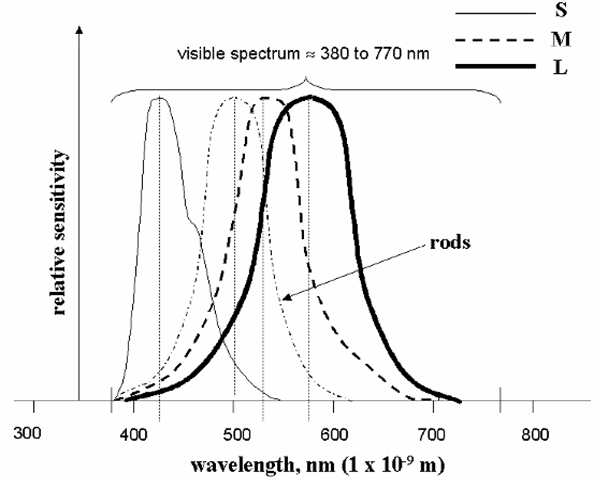 """Approximate normalized sensitivities of the rods and the three types of cone cells in the human retina. Peak cone sensitivities are at approximately 420 nm for the """"short-wavelength"""" (S) cells, 535 nm for the """"medium"""" (M), and 565 nm for the """"long"""" (L), and the peak for the rods is very close to 500 nm. The S, M, and L cones are sometimes thought of as the """"blue,"""" """"green,"""", and """"red"""" receptors, respectively, although clearly their responses are not strictly limited to those colors."""