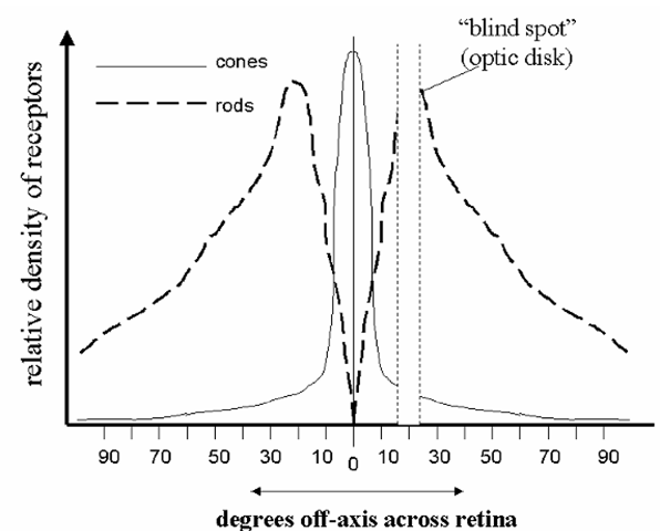 "Typical distributions of the rod and cone cells across the retina. Note that there are essentially no rods in the very center of the visual field (the fovea), and no receptors at all at the point where the optic nerve enters the eye (the ""blind spot"")."