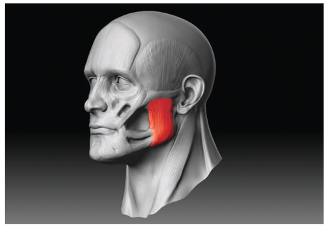 Figure 2 47 The masseter muscle fills out the side of the jaw from the    Triangularis Muscle