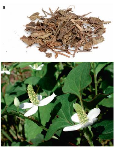 a & b Yuxingcao (Houttuynia cordata)