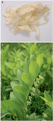 a & b Yuzhu (Polygonatum odoratum)
