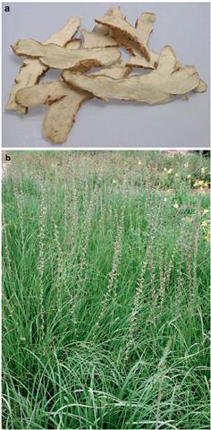 a & b Zhimu (Anemarrhena asphodeloides)