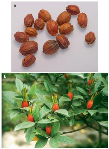 a & b Zhizi (Gardenia jasminoides)