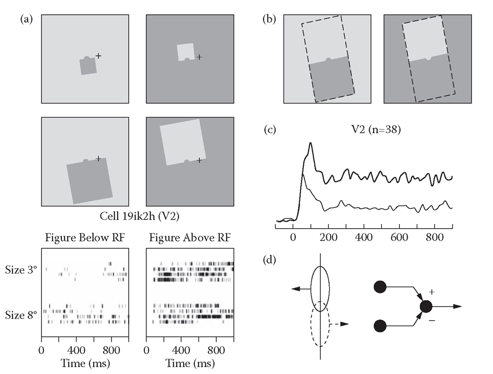Border ownership selectivity in neurons of the visual cortex. (a) Example neuron of area V2. Conventions are as in Figure 8.3. Note the response difference between conditions illustrated left and right. The left and right stimuli are locally identical, as shown in (b). (c) Time course of averaged responses of V2 neurons; thick line, preferred side of figure; thin line, nonpreferred side. Each neuron was also tested with displays of reversed contrast (not illustrated), and responses for both contrast polarities were averaged. (d) The differential response between neurons with opposite side preference is thought to signal border ownership.