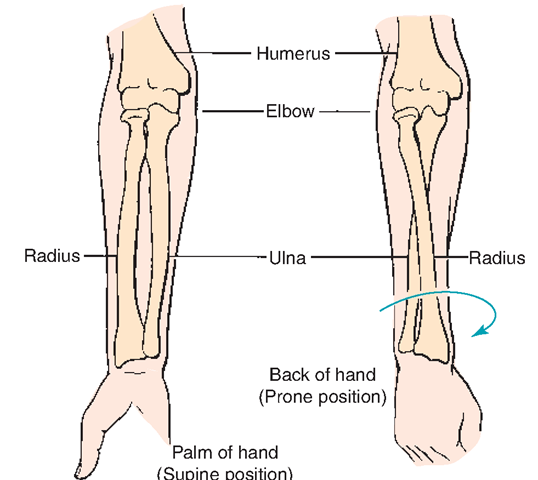 The Musculoskeletal System (Structure and Function) (Nursing) Part 2