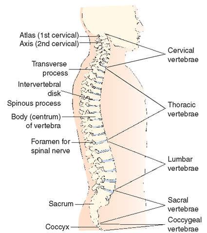 The Musculoskeletal System (Structure and Function) (Nursing) Part 3
