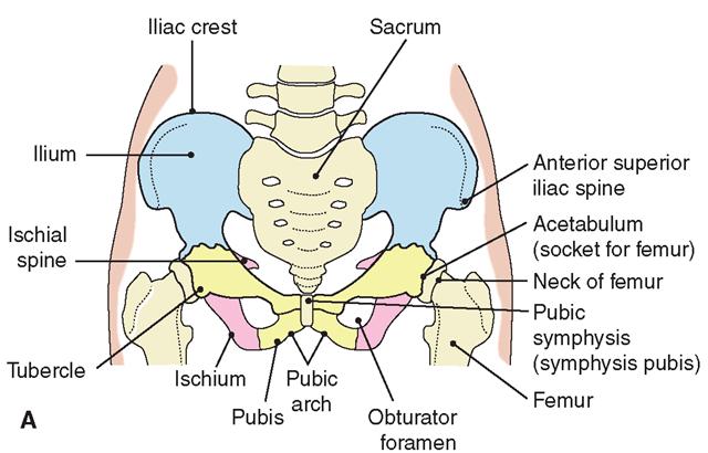 The pelvic bones. (A) Anterior view.