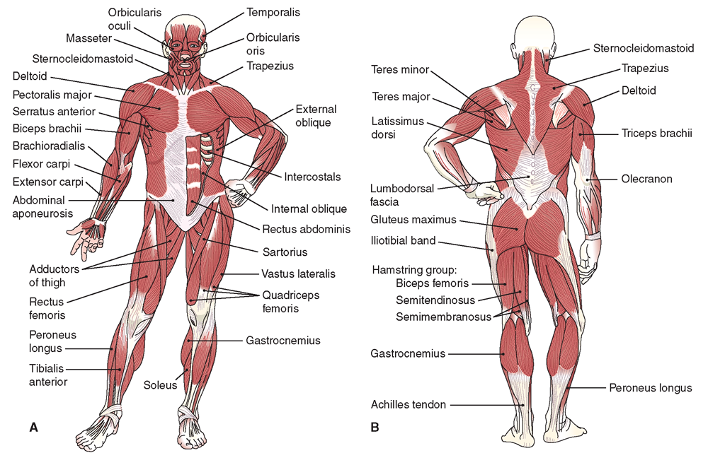 Selected muscles of the body. (A) Anterior view. (B) Posterior view.