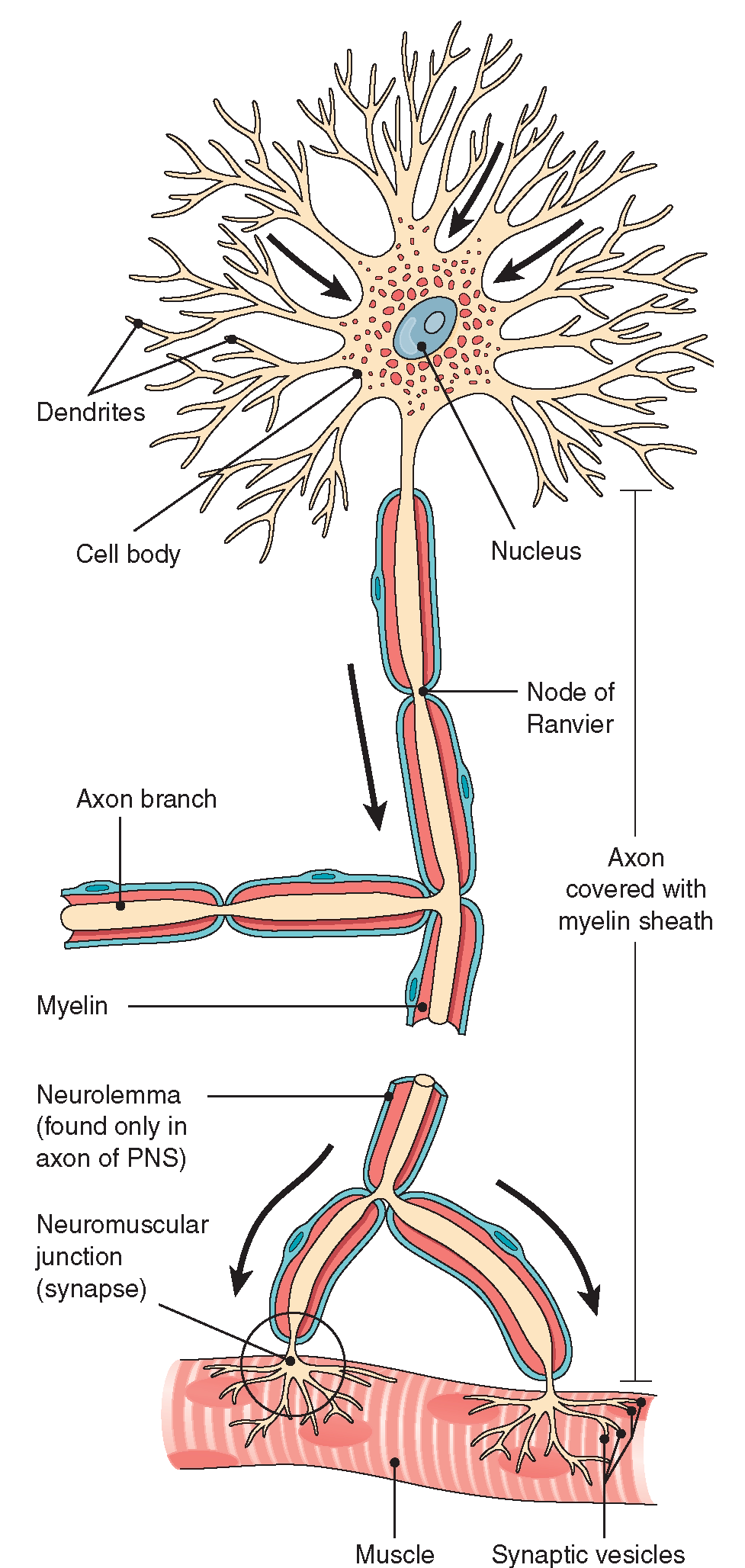 The nervous system structure and function nursing part 1 a myelinated motor neuron the break in the axon shows that the axon is ccuart Gallery
