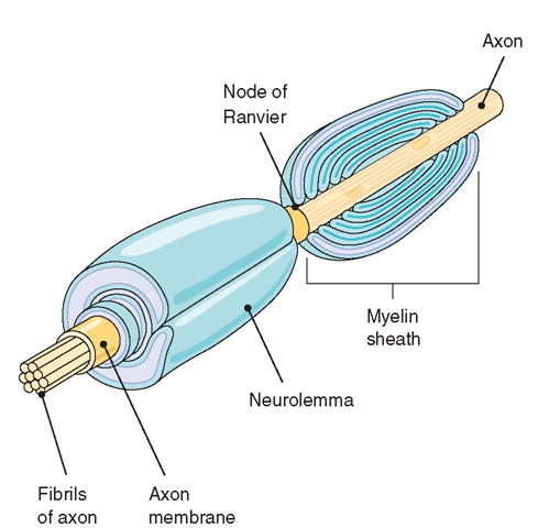 The formation of the myelin sheath. The outermost layer of the Schwann cell forms the neurolemma. The space between the cells is the node of Ranvier
