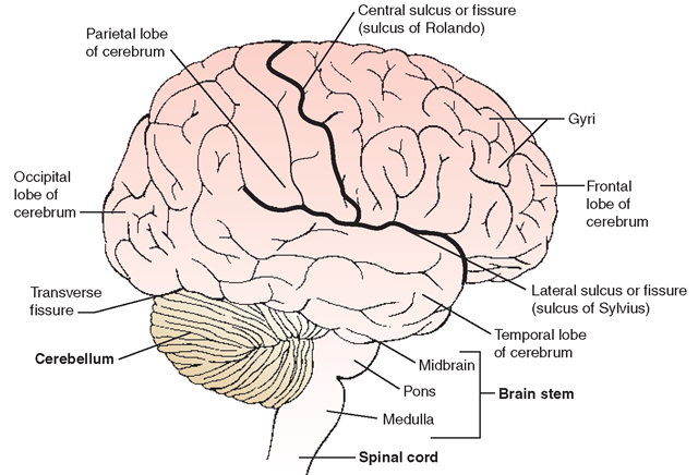 Lateral view (right side) of the external surface of the brain, indicating lobes of the cerebrum, as well as the cerebellum and brain stem. Major sulci are also shown.