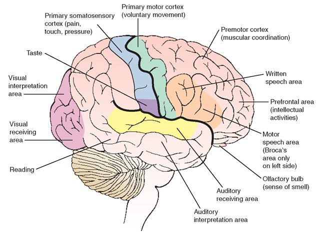 Lateral view of the brain, indicating major functional areas.