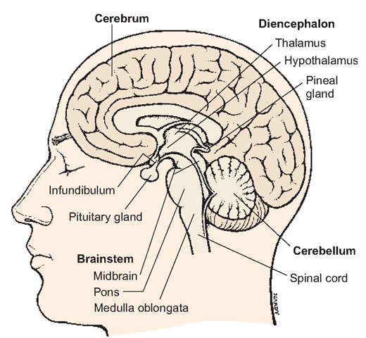 Brain, midline cross section, showing the thalamus, hypothalamus, and pituitary