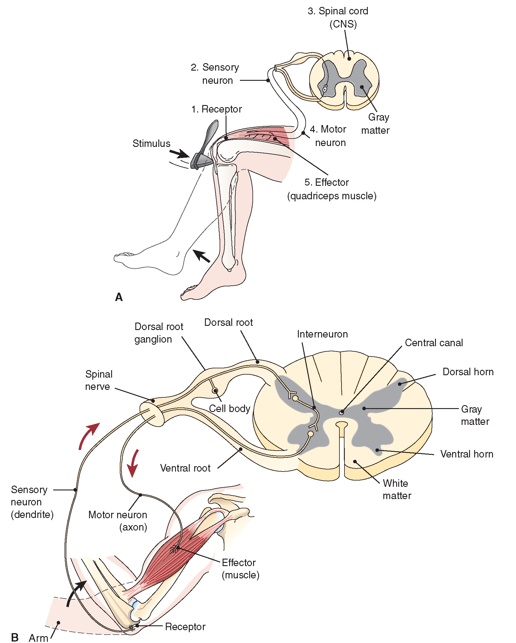 Swallowing reflex arc images figure 19 7 reflex arcs pooptronica