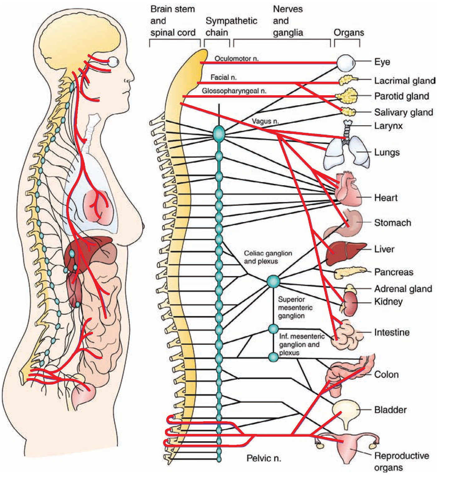 The Nervous System (Structure and Function) (Nursing) Part 4