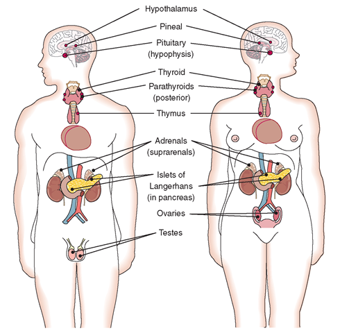 Location of the major endocrine glands in the body.