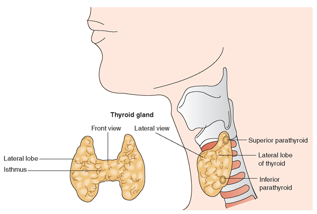 The thyroid gland as viewed frontally and laterally. The lateral view also shows the location of the parathyroid glands. The thyroid gland is made up of follicles, each containing an outer wall of follicular cells, with colloid material inside.
