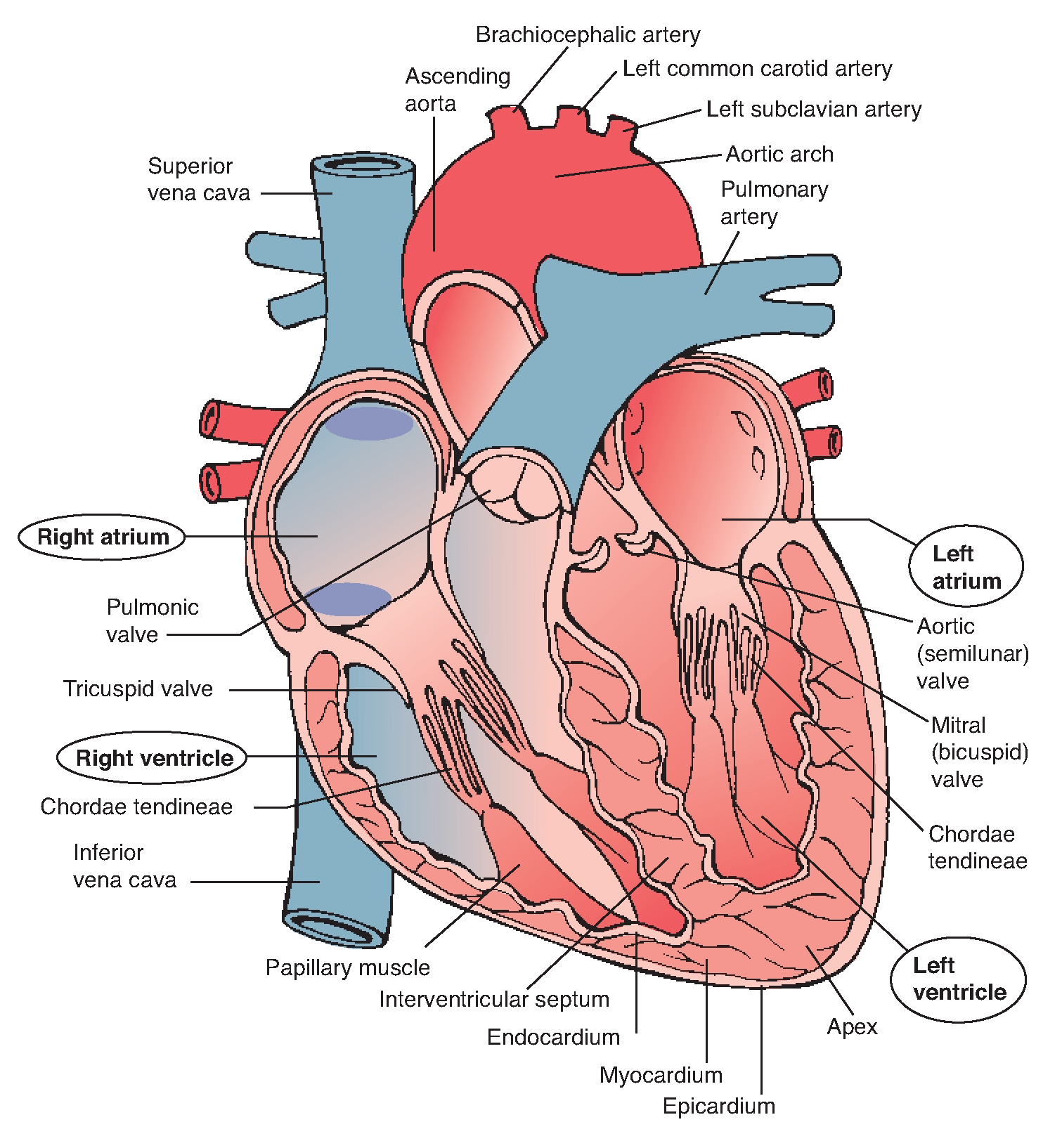 Great Vessels Heart and Lung