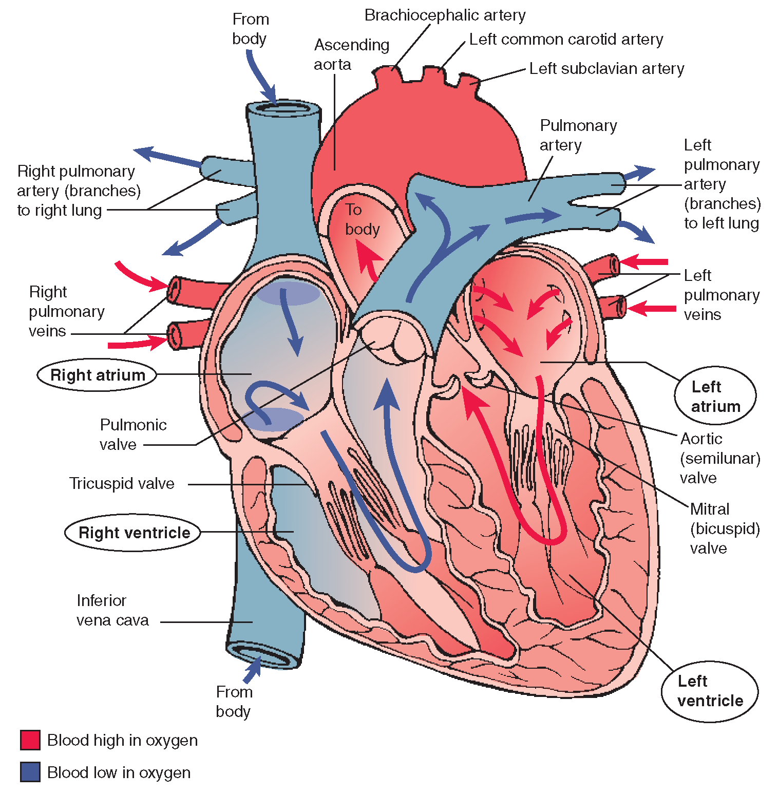 The Cardiovascular System Structure And Function Nursing Part 1