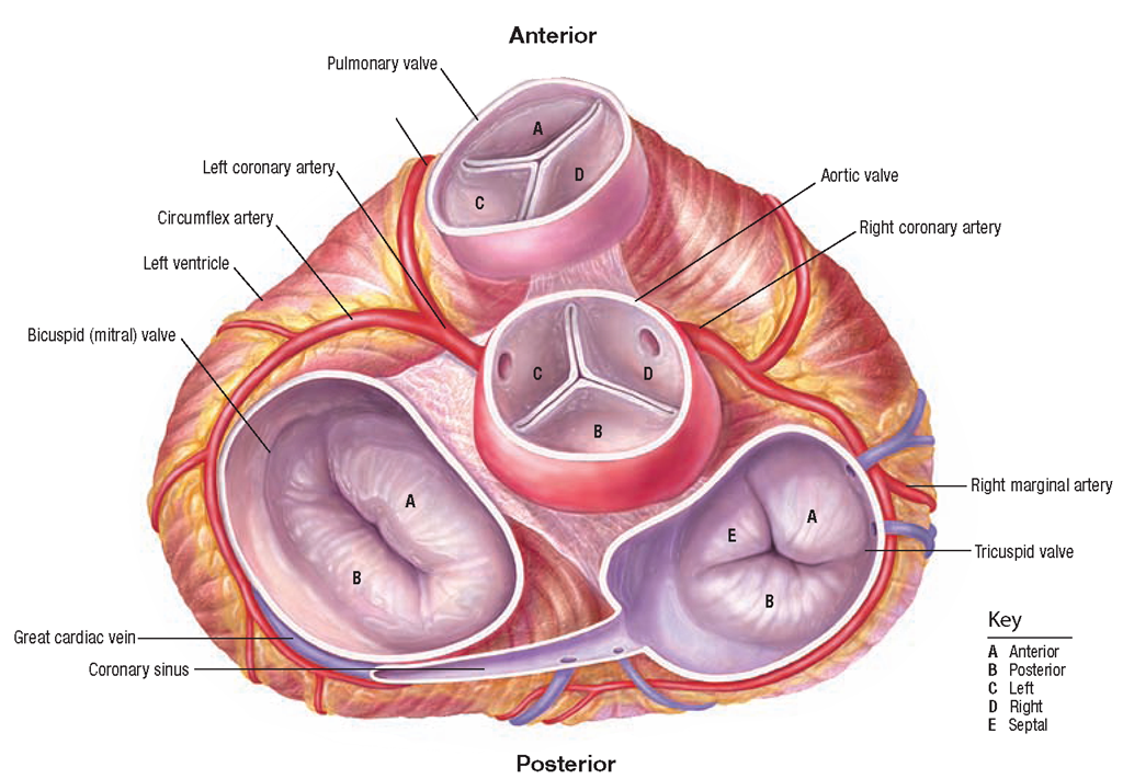 the cardiovascular system (structure and function) (nursing) part 2blood flow through the heart