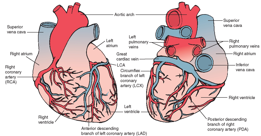 the cardiovascular system (structure and function) (nursing) part 2coronary arteries and cardiac veins left, anterior view right, posterior view