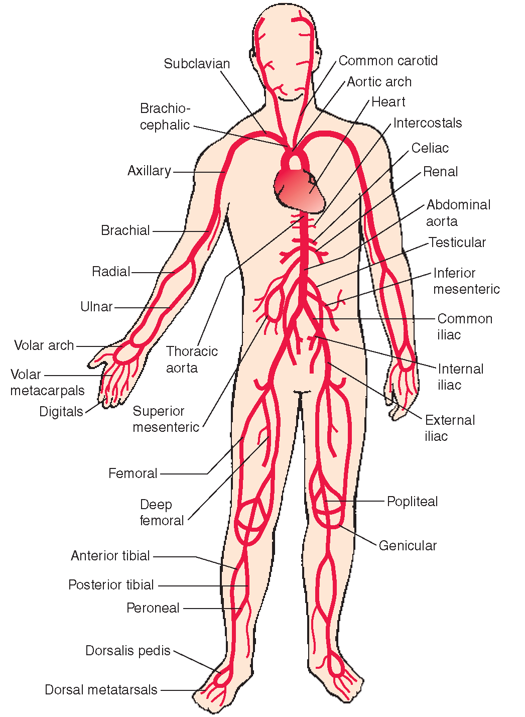The cardiovascular system structure and function nursing part 2 the arterial system carries blood away from the heart major pressure pooptronica