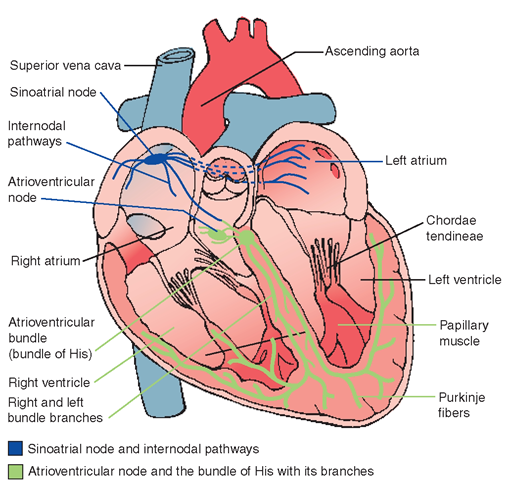 The Cardiovascular System (Structure and Function) (Nursing) Part 3
