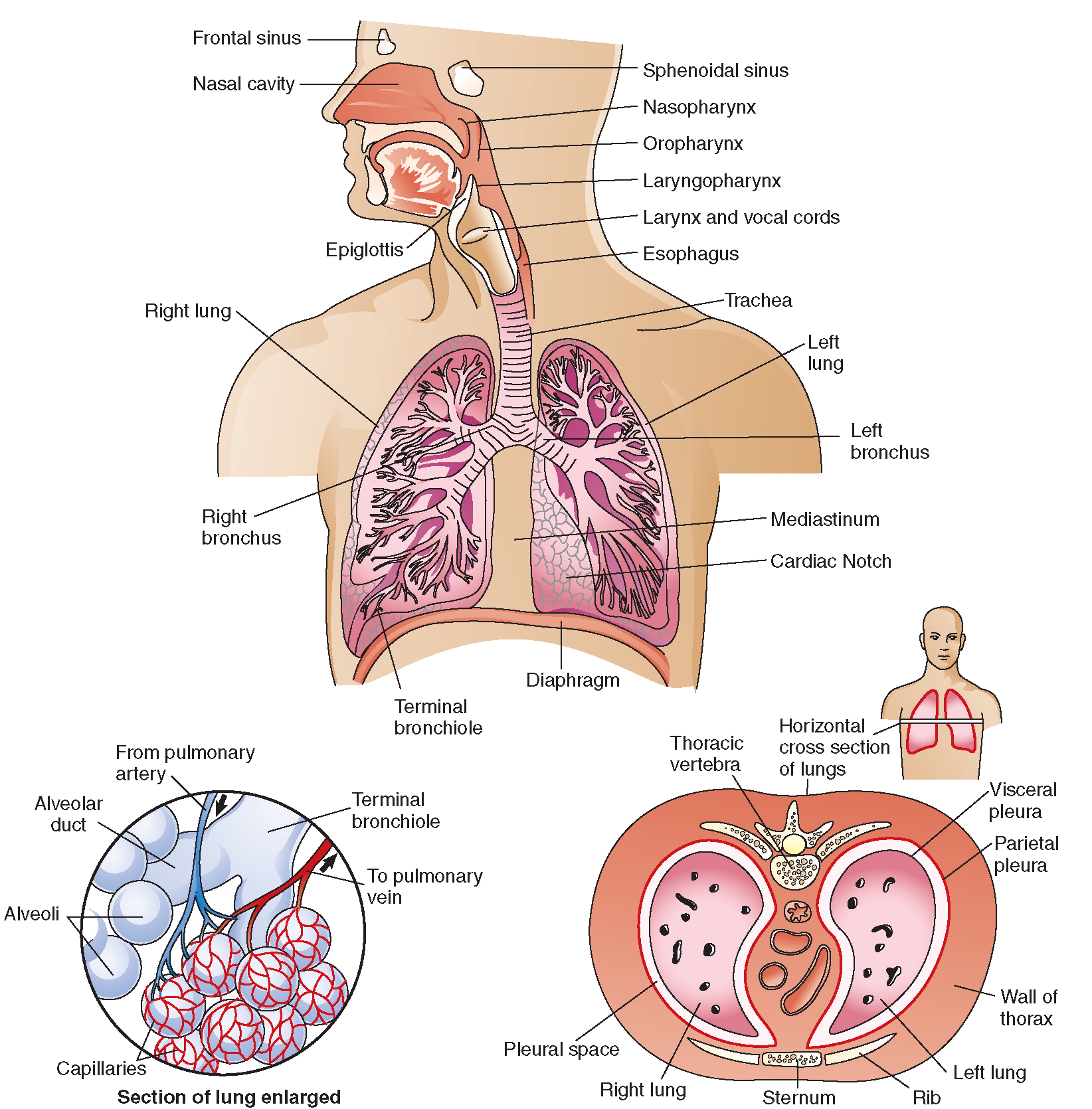 the respiratory system  structure and function   nursing    the respiratory system  top  upper respiratory structures and the structures of the thorax