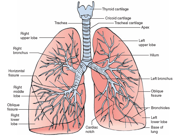 The Respiratory System (Structure and Function) (Nursing) Part 2