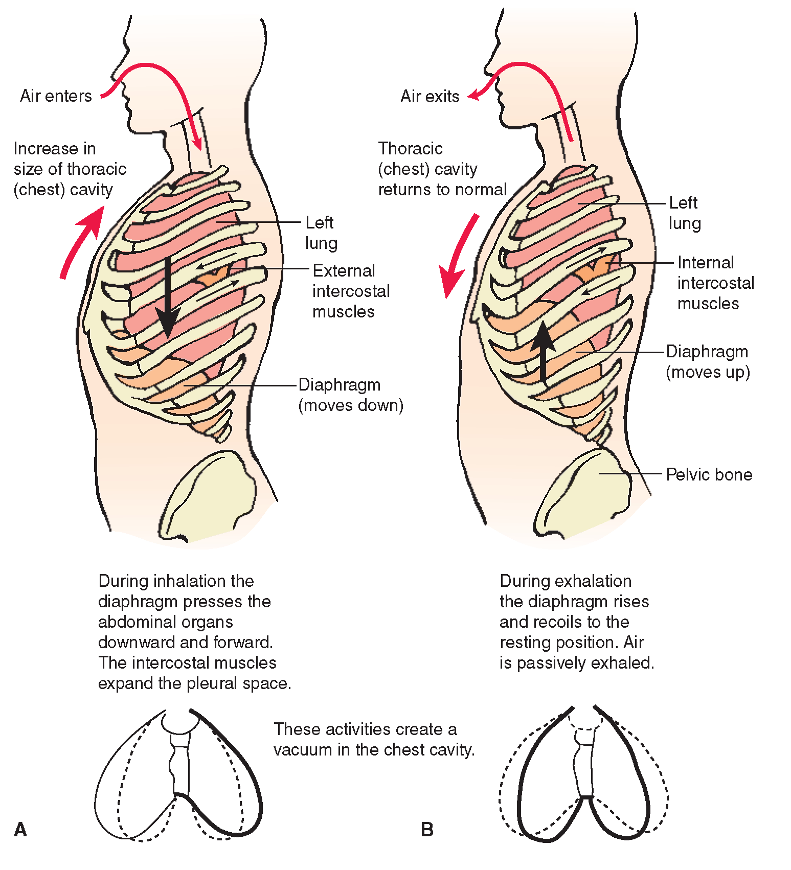 The Respiratory System Structure And Function Nursing Part 2