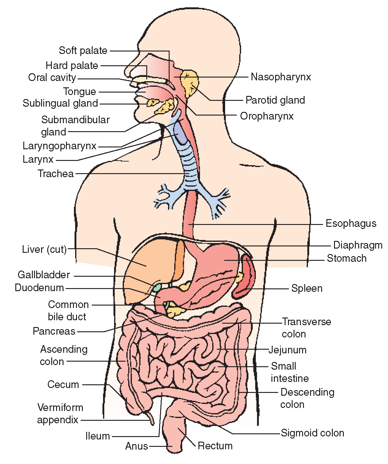 the digestive system (structure and function) (nursing) part 1, Human Body