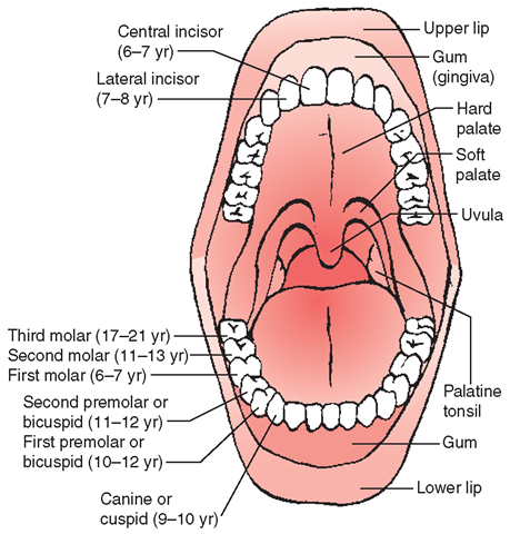 Structure And Function Of The Mouth 48