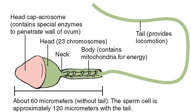A human sperm cell.