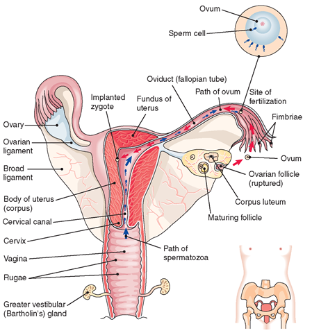 The female reproductive system structure and function nursing part 1 the female reproductive system interior view illustrating the location of fertilization of the ccuart Image collections