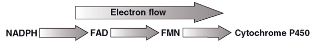 Direction of electron flow in P450 oxidoreductase (POR) supply of reducing power to CYP - mediated metabolic processes