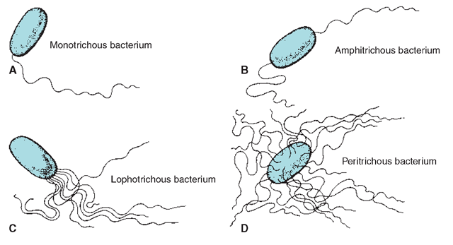 the 4 types of microbes There is a type called vibrio also the other thing that are often mentioned that there are four main types of bacteria is below: by combining morphology and gram-staining, most bacteria can be classified as belonging to one of four groups (gram-positive cocci, gram-positive bacilli, gram-negative cocci and gram-negative bacilli.