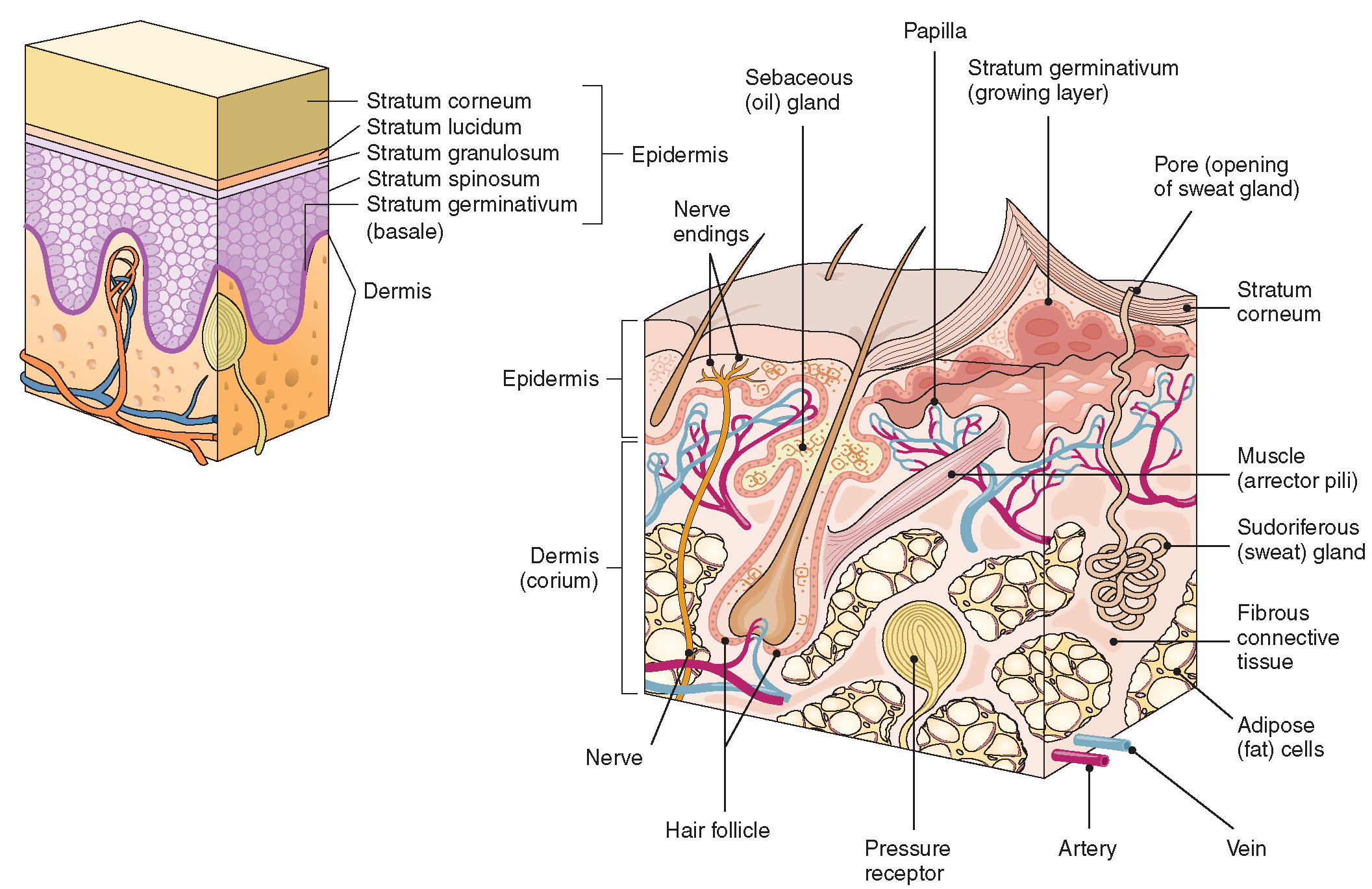 skin and the integumentary system The integumentary system consists of the skin, hair, and nails on the broadest scale, this system supports immune function and regulates homeostasis, as it.